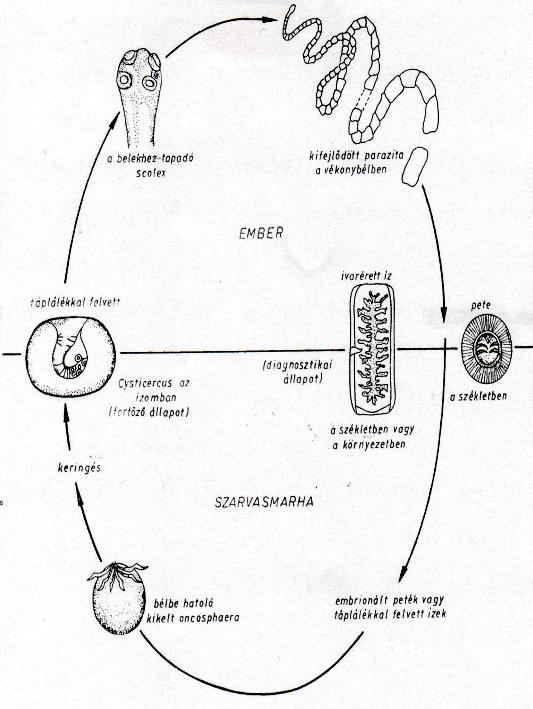 egy szarvasmarha szalagféreg életciklusa