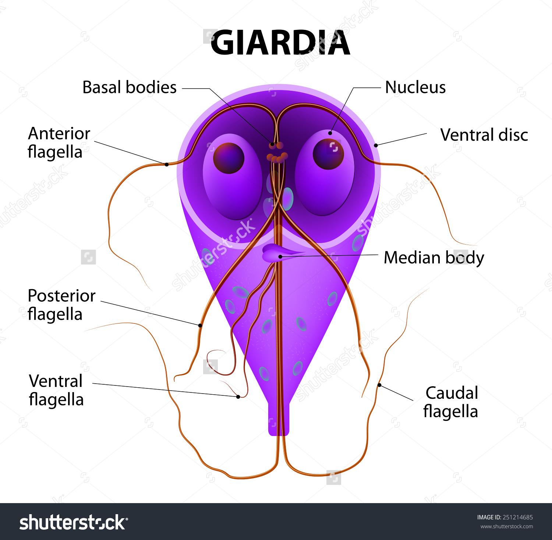 giardiasis gyógyitasa