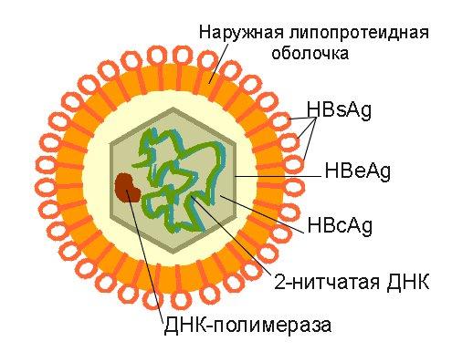 dysbiosis férfiakban a húgycső kenetében a szarvasmarha szalagféreg laposférgeket jelent