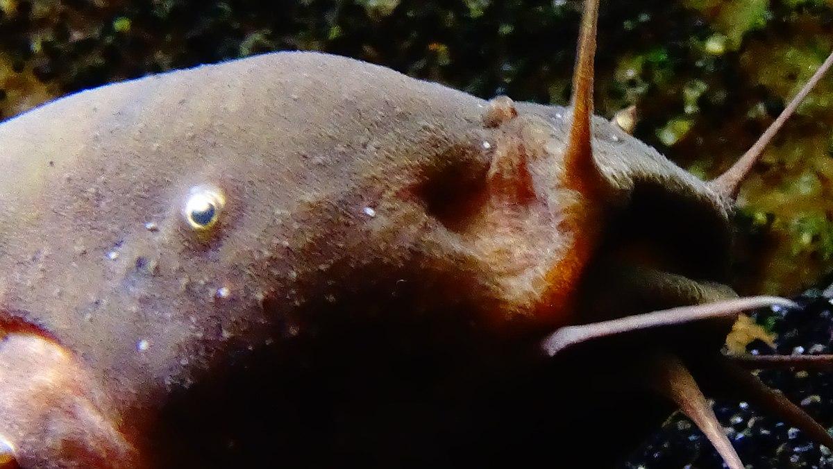 a malapterurus electricus parazitái