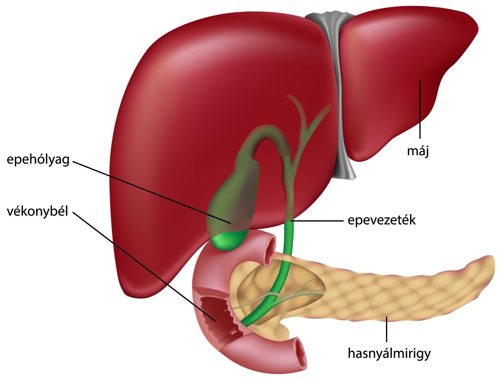 Tisztítsa meg a belek szagát a szájból. Kapcsolódó tünetek