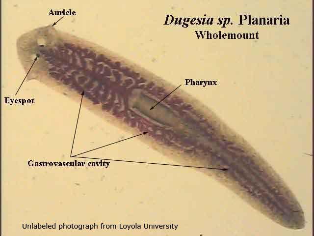 platyhelminthes turbellaria dugesia a rák szaga a szájból