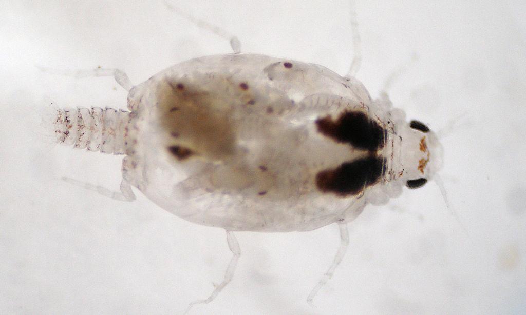 mit kell enni a pinworms kel Ascaris fejlesztési rendszer