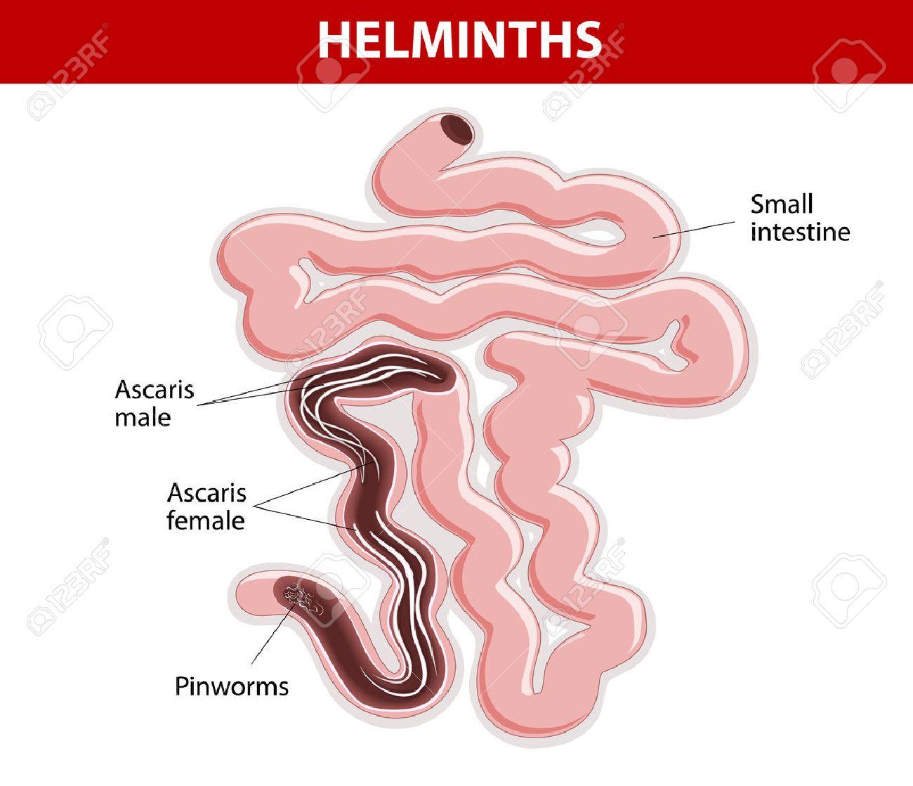 pinworm hélix