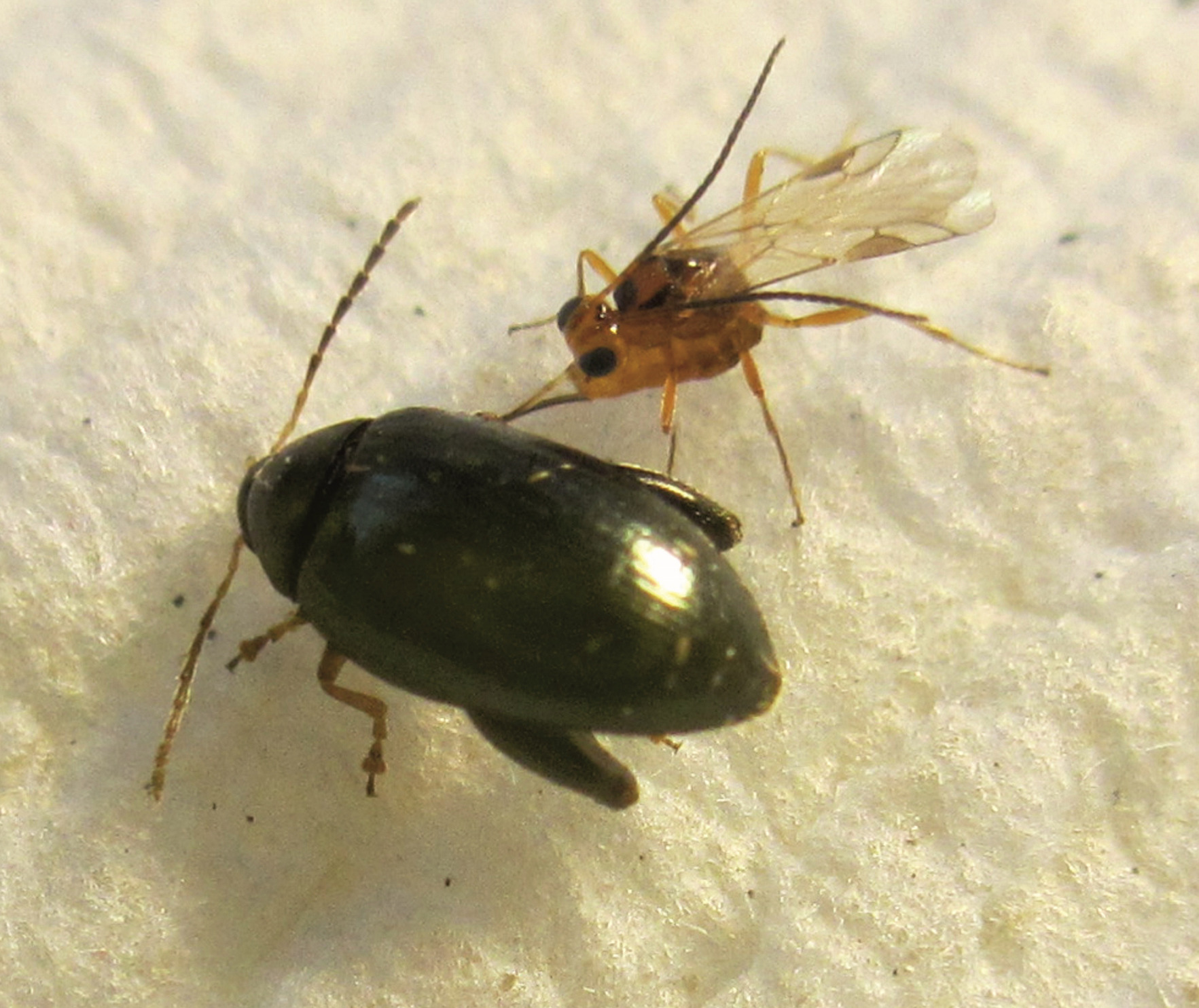 parazita láz bogarak