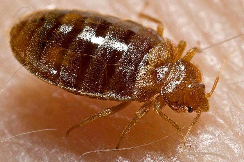 Paraziták a házban rovarok