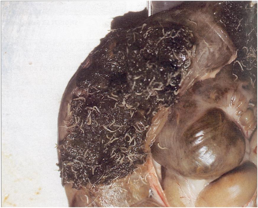 Hemiparazita