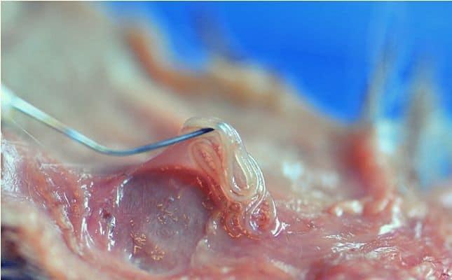 laposféreg szaporodasa gyógyszer a paraziták n