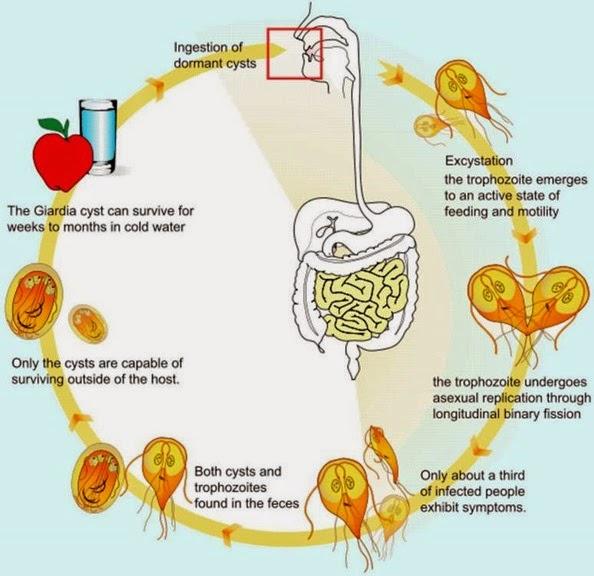 Giardia in water treatment. Giardiasis nsp - Giardia cysts in water