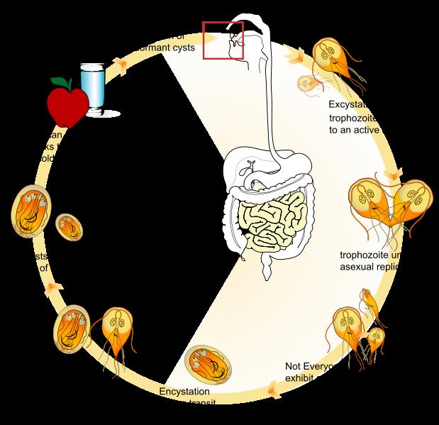 Giardiasis elhízás Giardia infection in humans