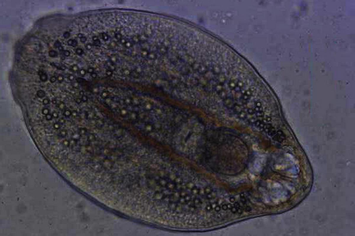 paraziták kezelése propolissal)