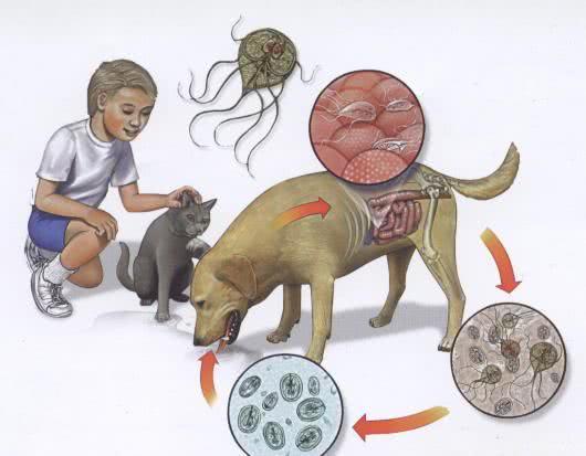 giardia humanos sintomas szivfereg elleni csepp
