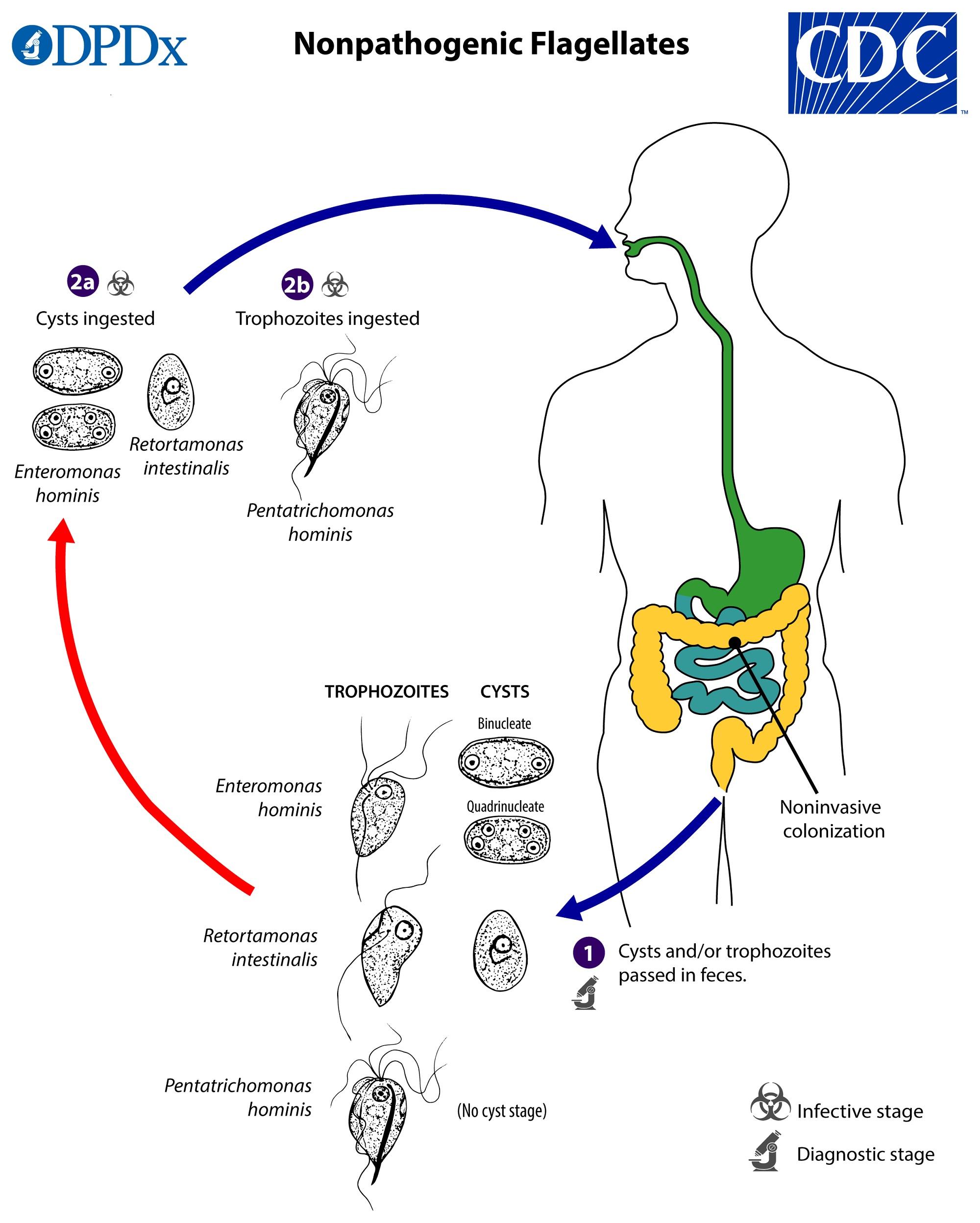 Az orvosi mikrobiológia tankönyve   Digitális Tankönyvtár, Giardia duodenalis cdc
