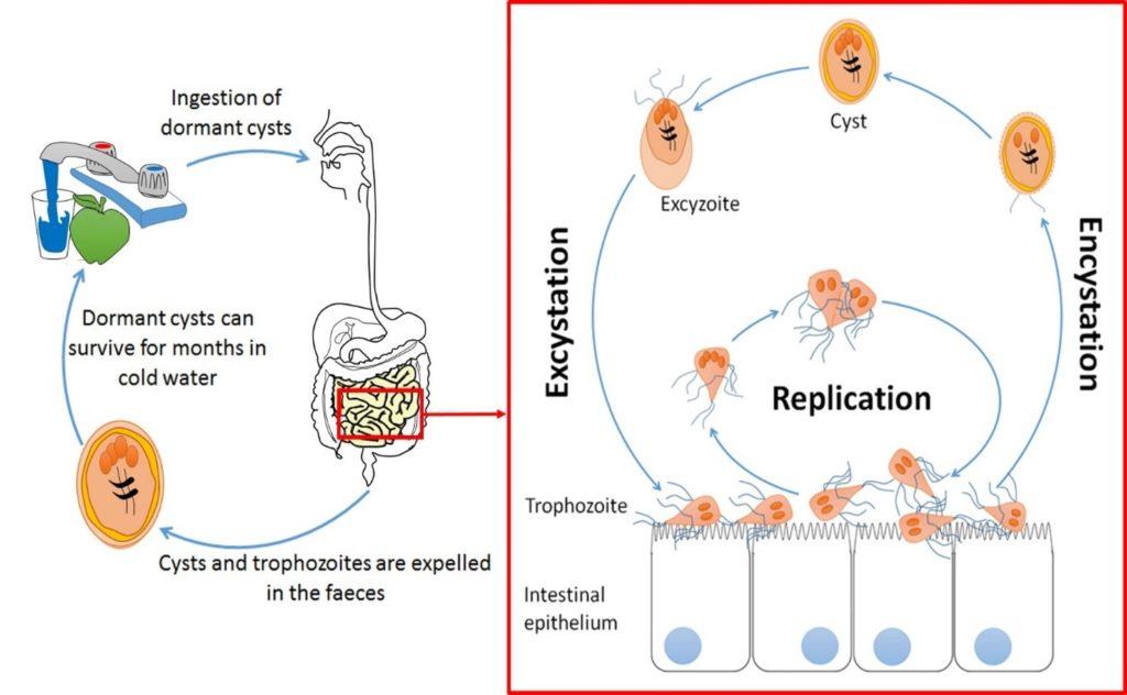 emberi papillomavírusok eredete karcsúsító gyógyszer férgekkel