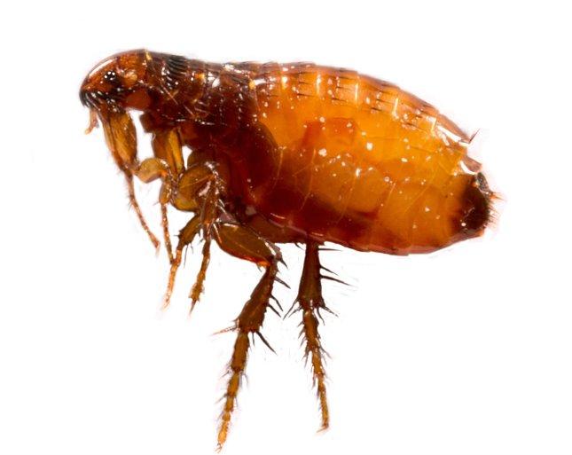 a hasnyálmirigyben élő paraziták