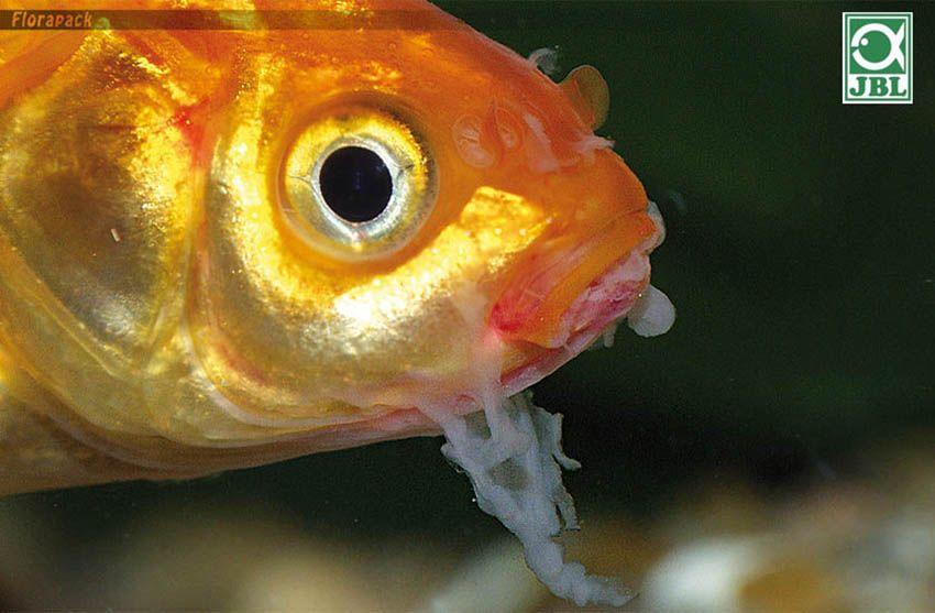 férgek halak kezelése