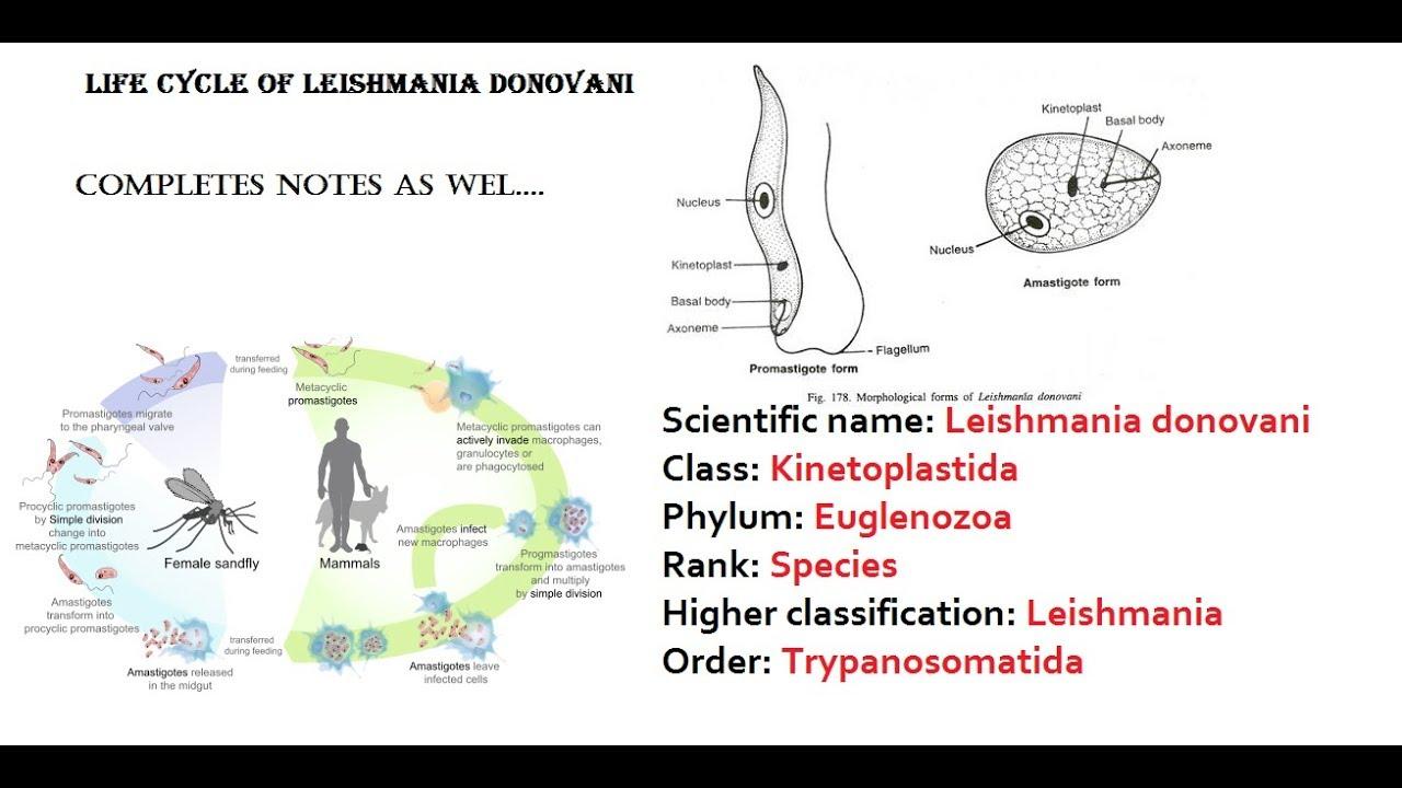 Leishmania donovani paraziták, Mi az a leismaniasis? Hogyan terjed?