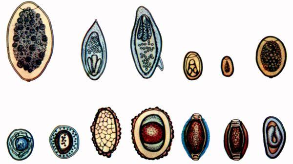 A hymenolepidosis és a férgek petesejtjei azonosak