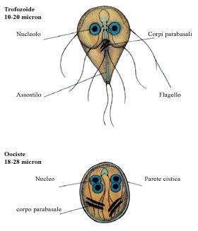 giardia stomorgil)