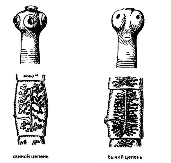bika szalagféreg