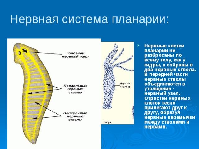 A keresztféreg testének keresztmetszete. Emberi körféreg. Lenyelés.