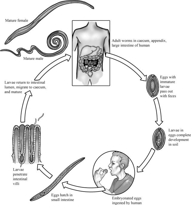a trichocephalus patogenezise