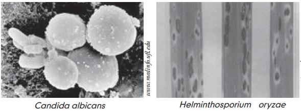 helminthosporium oryzae padi hpv és szájfájdalmak