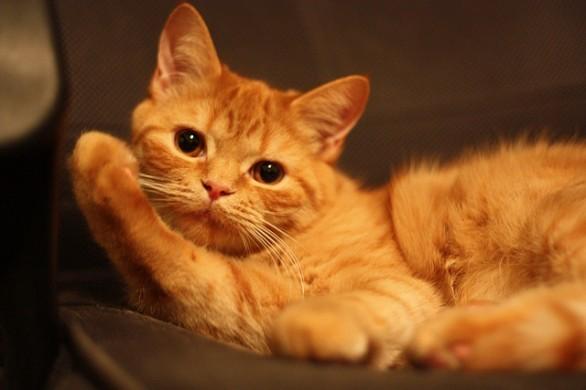 Giardia macskák orvosság.