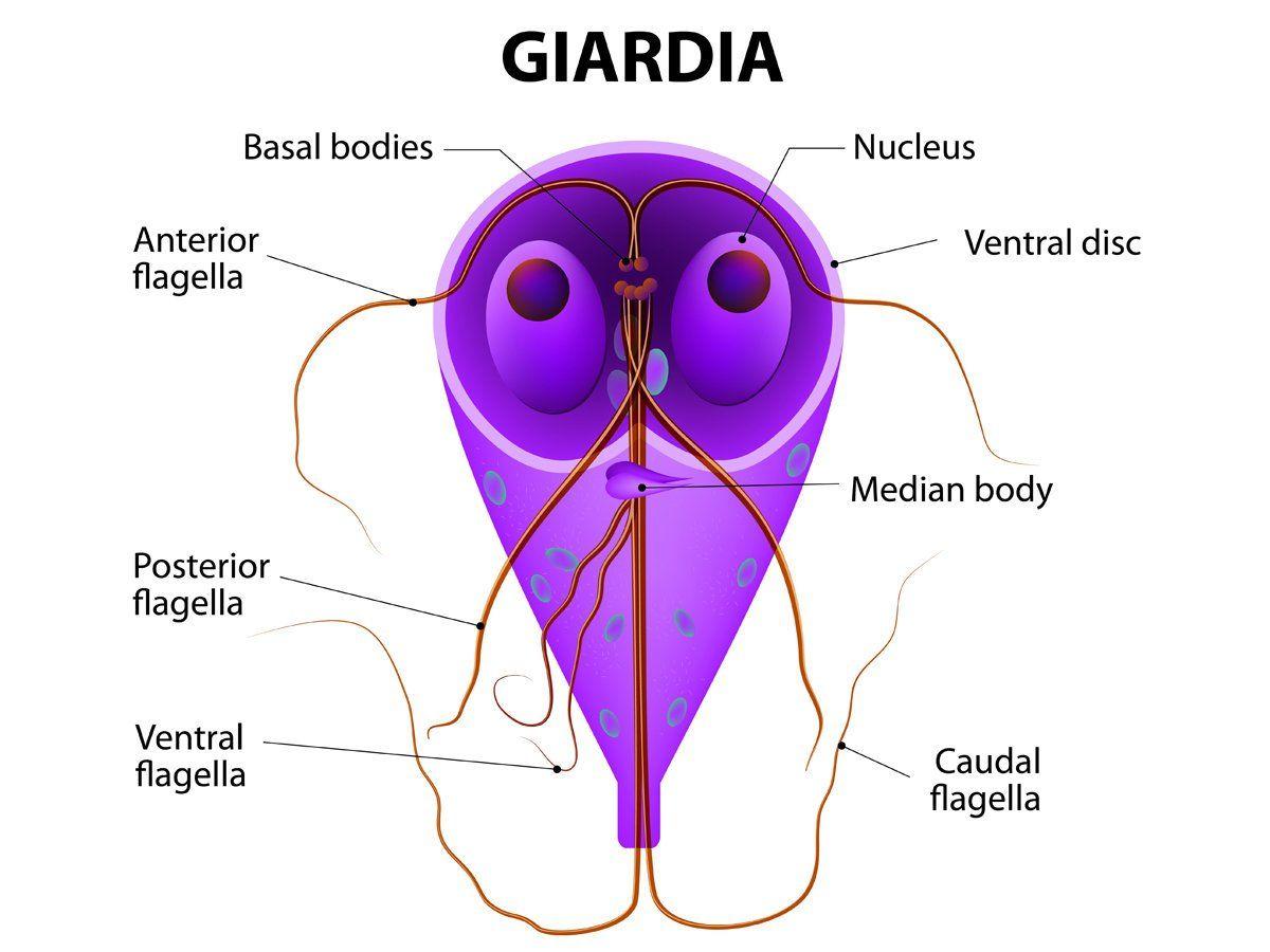 giardia bacteria symptoms