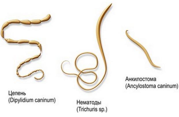 az emberi testben élő paraziták típusai ricinusolaj férgek kezelésére