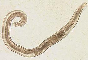 klinikailag fertőző paraziták