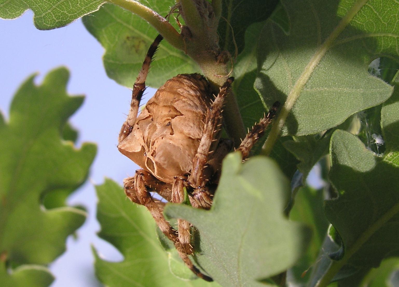 gömb alakú cserje parazita)