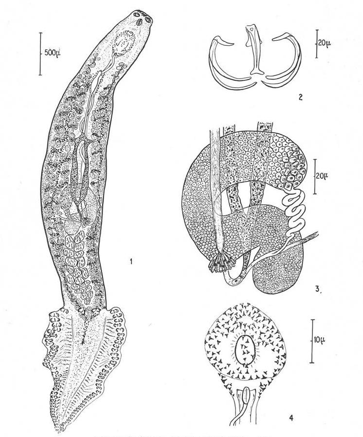 opisthaptor platyhelminthes xenobiotikus méregtelenítő gének