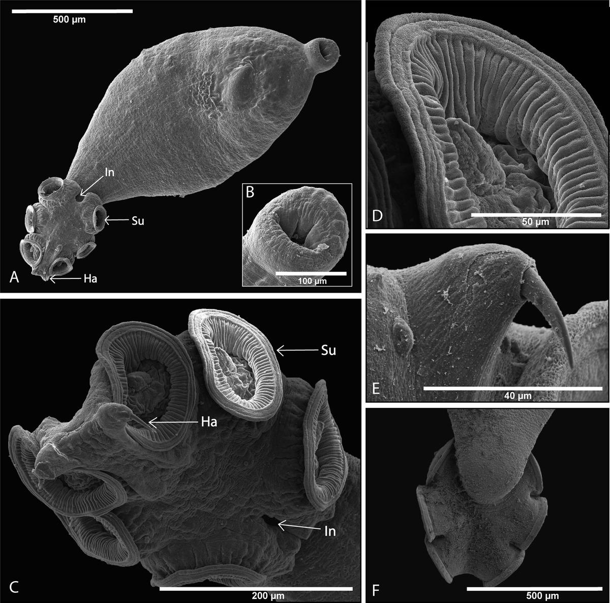 opisthaptor platyhelminthes gyógyszer a paraziták mérgező véleménye
