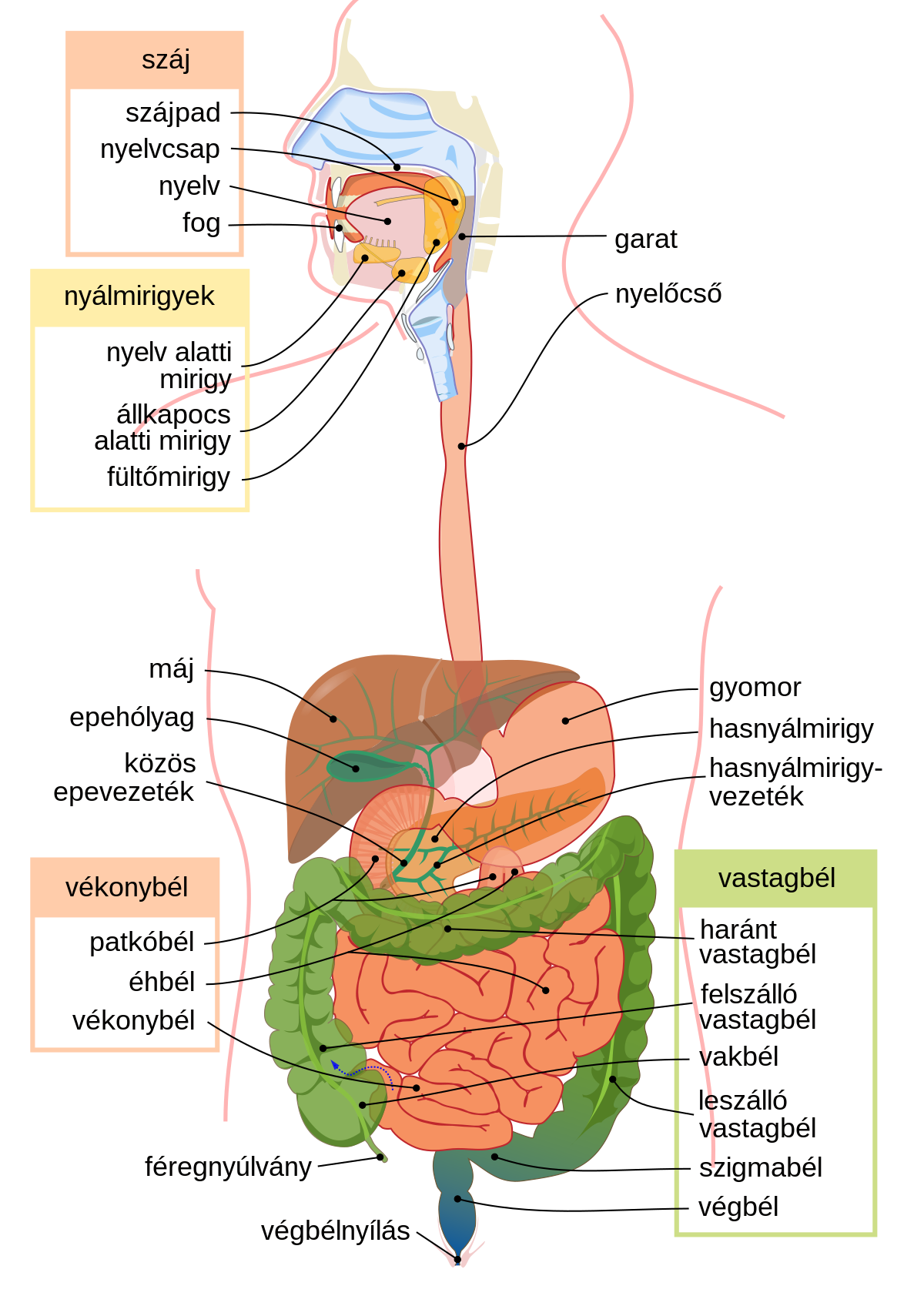 férgek, amelyek befolyásolják a vastagbél giardia untreated in humans