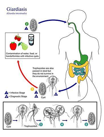 erős paraziták gyógyszerei
