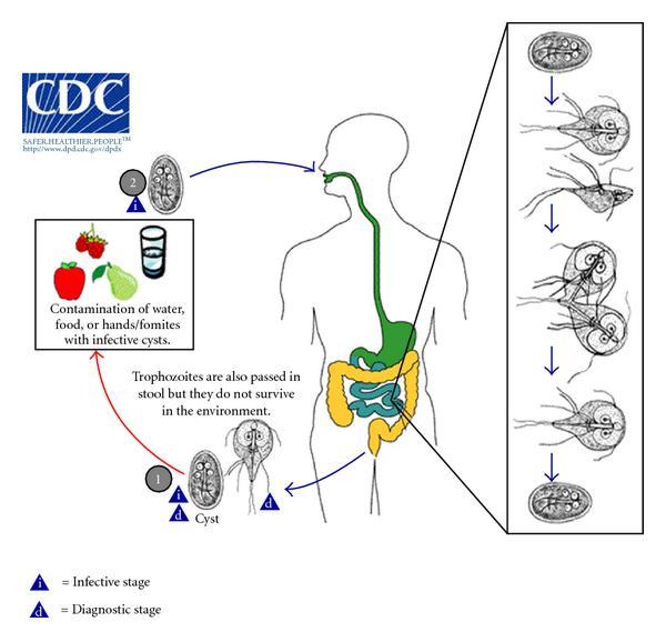 gyógyszerek felnőttkori helminthiasis megelőzésére giardiasis következményei