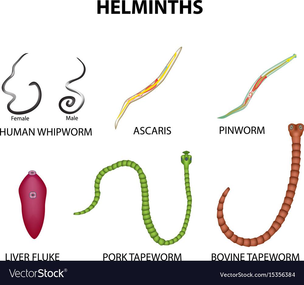 Pinworm vektorok, Pinworms ábra. Felnőtt, Pinworm