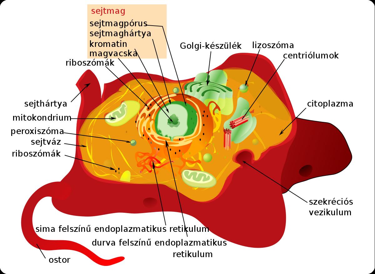 kerekférgek ostorféreg szerkezete)
