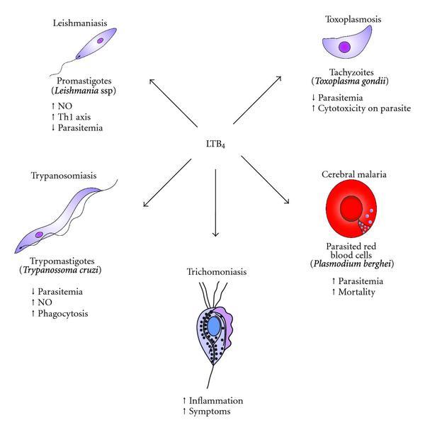 hogyan lehet megszabadulni a szív parazitáitól