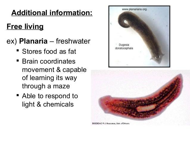 Phylum Platyhelminthes osztály turbellária
