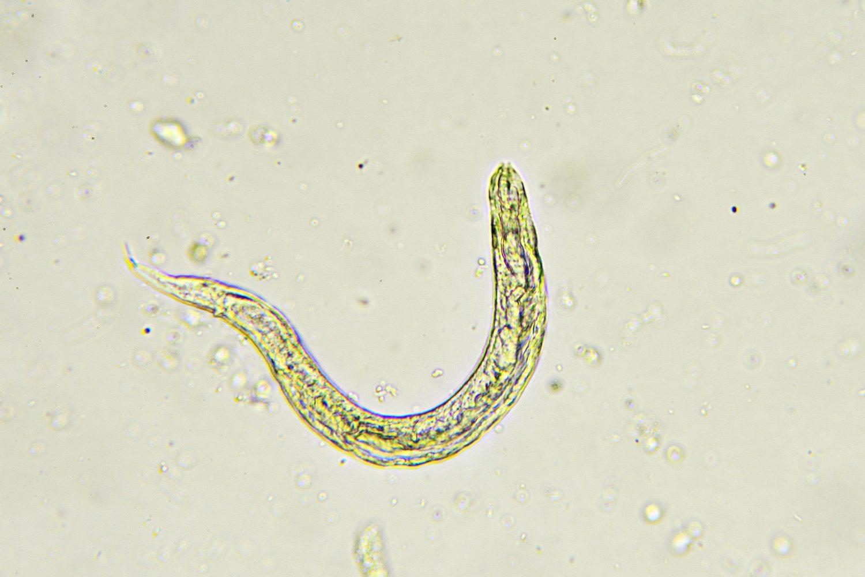 Pinworm okokból