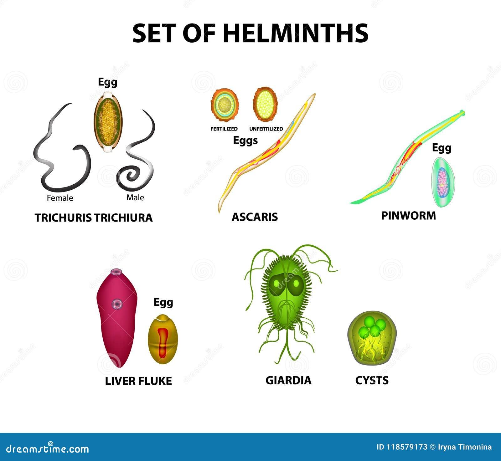 Worm allergia tünetei - A pinworm férgek tünetei és kezelése felnőtteknél