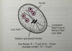 pinworms és giardia kezelés