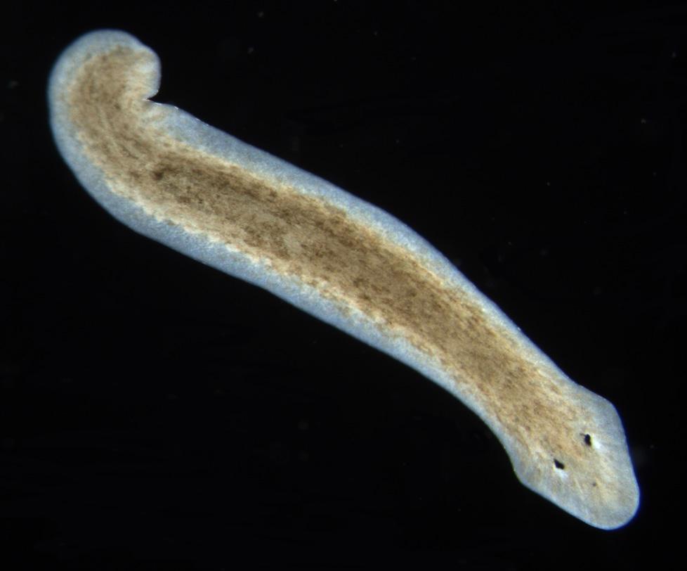 platyhelminthes turbellaria dugesia milyen veszélyes kerekesférgek a felnőttek számára