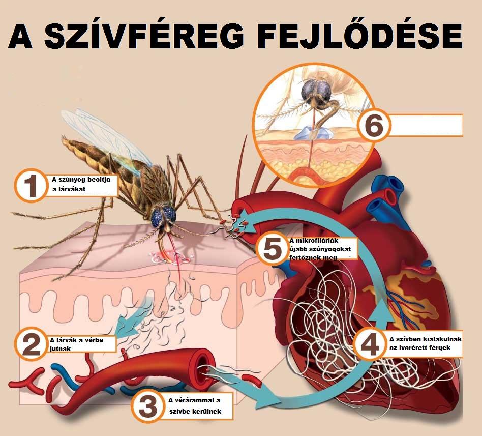 a szívférgesség tünetei